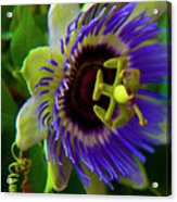 Passion-fruit Flower Acrylic Print by Betsy Knapp