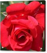 Passion Rose Acrylic Print