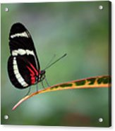 Passion-vine Butterfly 2017 Acrylic Print