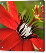 Passionate Flower Acrylic Print