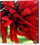 Passionate Red Acrylic Print