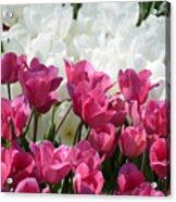 Passionate Tulips Acrylic Print