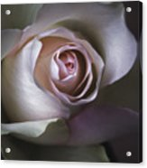 Pastel Flower Rose Closeup Image Acrylic Print by Artecco Fine Art Photography