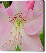 Pastel Pink  Azalea Acrylic Print
