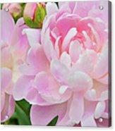 Pastel Pink Peonies Acrylic Print