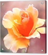 Pastel Rose Acrylic Print