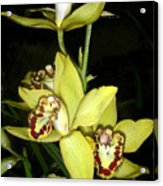 Pastel Yellow And Wine Orchids Acrylic Print
