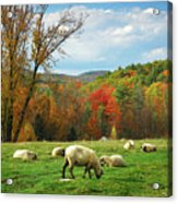 Pasture - New England Fall Landscape Sheep Acrylic Print
