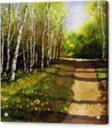 Path Through Silver Birches Acrylic Print