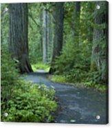 Path Through The Cedars Acrylic Print
