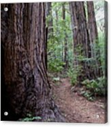 Pathway Through A Redwood Forest On Mt Tamalpais Acrylic Print
