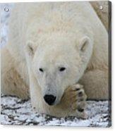 Polar Bear Patience Acrylic Print