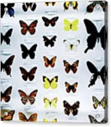Pattern Made Out Of Many Different Butterfly Species Acrylic Print