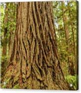 Patterned Redwood Acrylic Print