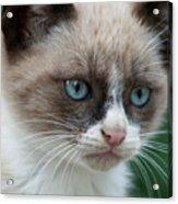 Pauls Little Cat Acrylic Print