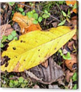 Paw Paw Leaf Fall Colors Acrylic Print