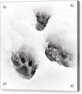 Paw Print  Acrylic Print by Tom Gowanlock