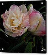 Pe0ny Tulip Duet 2 Acrylic Print