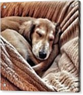 Peace At Last #saluki Acrylic Print