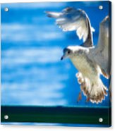 Peace Gull Acrylic Print