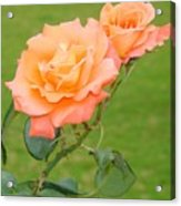 Peach And Gold Roses Acrylic Print
