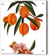 Peach And Peach Blossoms Acrylic Print