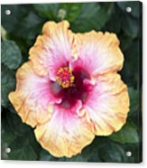 Peach And Pink Acrylic Print