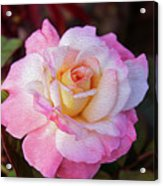 Peach And White Rose Acrylic Print