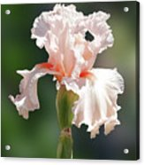 Peach Bearded Iris 2 Acrylic Print
