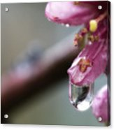 Peach Blossom After The Rain Acrylic Print