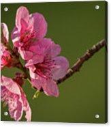 Peach Blossom Acrylic Print