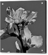 Peach Blossoms In Grayscale Acrylic Print