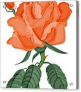 Peach Brandy Wine Rose Acrylic Print