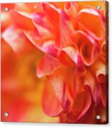 Peach Color Dahlia Acrylic Print