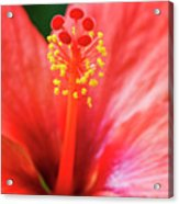 Peach Colored Hibiscus Closeup Acrylic Print