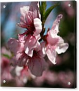 Peach Embrios Acrylic Print