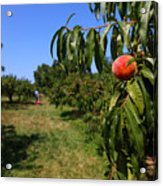 Peach Grove Acrylic Print