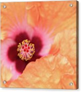 Peach Hibiscus - Macro Acrylic Print
