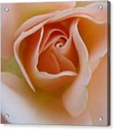 Peach Mini Rose Acrylic Print