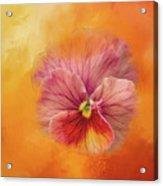 Peach Pansy Acrylic Print