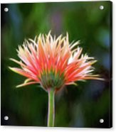 Peach Perfection Acrylic Print