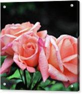 Peach Rosebud Trio Acrylic Print