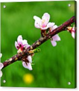 Peach Tree Blossoms Acrylic Print