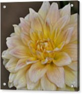 Peaches And Cream Dahlia Acrylic Print