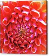 Peachy Dahlia Acrylic Print