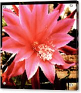 Peachy Pink Cactus Orchid Acrylic Print