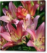Peachy Pink Lilies Acrylic Print