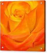 Peachy Rose Acrylic Print