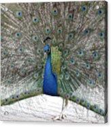Peacock 03 Acrylic Print
