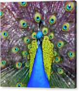 Peacock Art Acrylic Print
